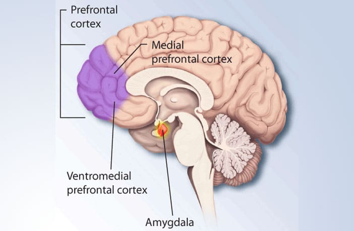 In depressed people, the medial prefrontal cortex exerts more ...