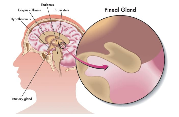 No Reason To Believe The Pineal Gland Alters Consciousness By